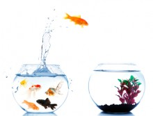 Image of goldfish jumping from one bowl to another